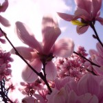 Fleurs roses magnifiques